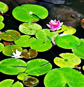 Water-lily-flowers